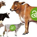 A1 vs A2 milking Desi Indian Cow Vs Jercy HF