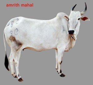 Amrith Mahal Cow