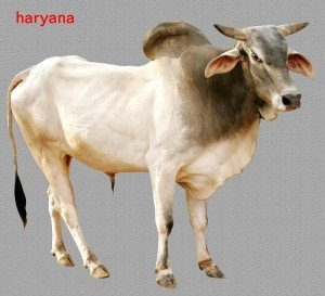 Haryana Bull