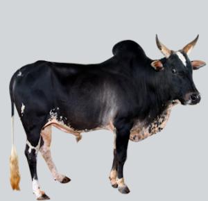Umblacheri Bull